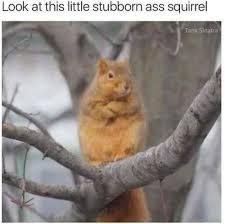Squirrel Meme - look at this little stubborn ass squirrel meme xyz