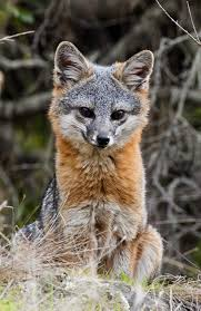 want to keep these adorable foxes around lock up your garbage