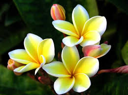 fragrant flowers in india with amazing fragrant complete list