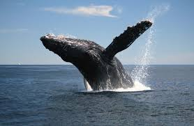 Whaling Meme - australia reefwalker humpback whale breaching look what we found