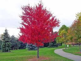 albero giardino alberi a crescita rapida alberi