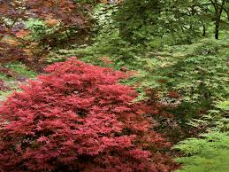 Japanese Gardening 101 Japanese Maple Trees Southern Living