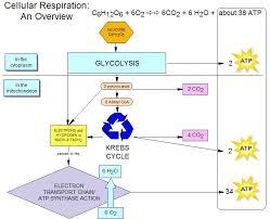 cellular respiration lessons tes teach