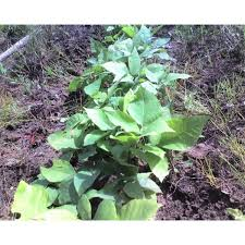shagbark hickory tree seedlings transplants for sale cold