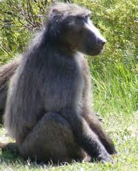 sle resume journalist position in kzn wildlife ezemvelo accommodation rogue baboons cause for concern news24