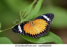 image of a plain tiger butterfly on green leaves insect stock