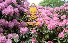 Pink Spring Flowering Shrubs - 12 deadliest garden plants this old house