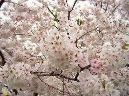 yoshino cherry tree on sale the planting tree