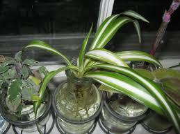 plants u2013 propagating a spider plant u2013 minding my p u0027s with q