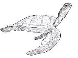 sea turtle drawing pictures sea turtles sea turtle u2013 steve
