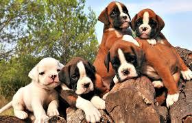 boxer dog breeders near me boxer puppies available in phoenix u0026 tucson az