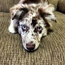 5 month old mini australian shepherd pix for u003e red merle australian shepherd mix australian shepherd