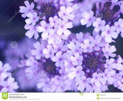 Lilca by Lilac Flowers Stock Photography Image 10475272