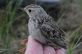North Dakota birds images Big goals for a small bird focusing on wildlife jpg
