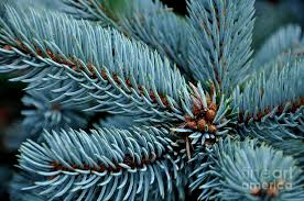 blue spruce hoopsi blue spruce photograph by searcy