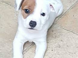 belgian shepherd x staffy staffordshire bull terrier dogs and puppies for sale in worcester