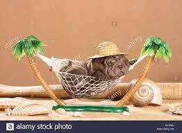 shar pei puppy in hammock stock photo royalty free image