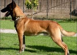 belgian malinois insurance alex belgian malinois dog u2014 buy alex belgian malinois dog price