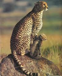 affectionate cheetahs wallpapers 111 best cheetahs images on pinterest animal kingdom wild