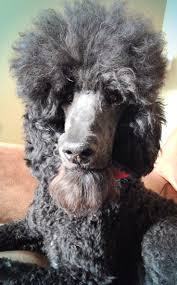 430 best grooming stuff images on pinterest pet grooming dog