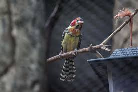 Lincoln Park Zoo Light Hours by 3 Singing Red And Yellow Barbets Debut At Lincoln Park Zoo
