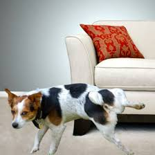 Dog Peed On Bed How To Handle Separation Anxiety The Balanced Canine