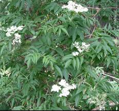 washington state native plants blue elderberry sambucus nigra ssp cerulea native plants pnw