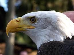 Bald Eagle On Flag Bald Eagle Announces Retirement As America U0027s National Symbol