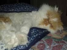 gatti persiani bianchi persiani bianchi gatti in vendita e in regalo kijiji annunci