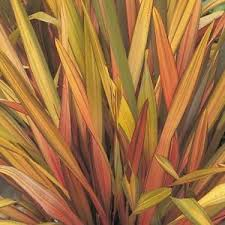 30 phormium seeds new zealand flax rainbow striped hybrids