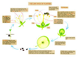 Life Of A Flower - life cycle of a flowering plant