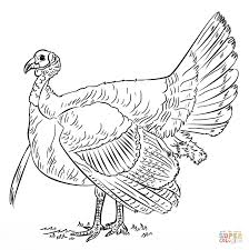 wild turkey coloring coloring
