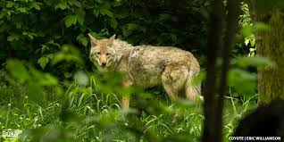 Can Coyotes See Red Light 4 Quick Ways To Tell A Wolf From A Coyote Dnr News Releases