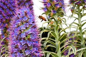 Madeira Flowers - flying bee on purple pride of madeira flowers 7d14839 photograph