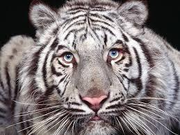 white tiger のおすすめ画像 70 件 ホワイトタイガー