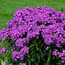 phlox flower phlox paniculata walters gardens inc