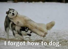 Funny Husky Memes - lawlz laugh out loud on this humor site with funny pictures and