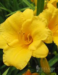 stella d oro daylily stella d oro daylily jumbo pack 77100