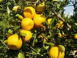 citrus greening remains a problem in backyard citrus trees uf