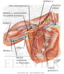 Anatomy Of Shoulder Muscles And Tendons Axilla Dissection Anterior View Shoulder And Axilla Deep
