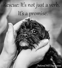affenpinscher rescue seattle 267 best dog rescue adoption rehoming images on pinterest