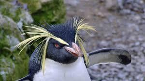 rockhopper penguin u003ci u003eeudyptes chrysocome u003c i u003e