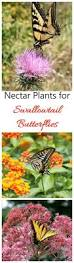 native plants for butterflies swallowtail nectar plants add these to attract swallowtails