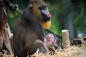 Christmas Lights At Houston Zoo by Houston Zoo Sweetly Remembers Young Mandrill Annabelle Houston Zoo