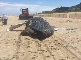 Delaware how long does it take to travel to mars images Dead 30ft humpback whale washes up on delaware beach with huge jpg