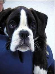 boxer dog 2015 diary 483 best animals images on pinterest
