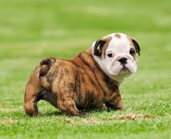 bulldog dog breed information pictures characteristics u0026 facts