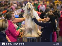 8 month old afghan hound afghan hound at crufts stock photos u0026 afghan hound at crufts stock