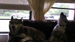 australian shepherd husky siberian husky and australian shepherd howling together youtube