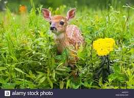 closeup of baby white tailed deer standing in wildflowers